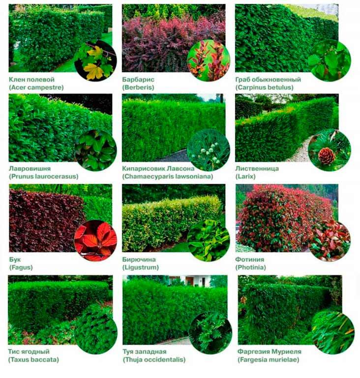 Яркие примеры растений для живой изгороди