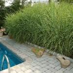 декоративная трава и злаки в ландшафтном дизапйне