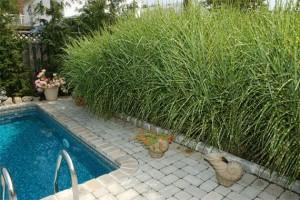 декоративная трава и злаки в ландшафтном дизайне