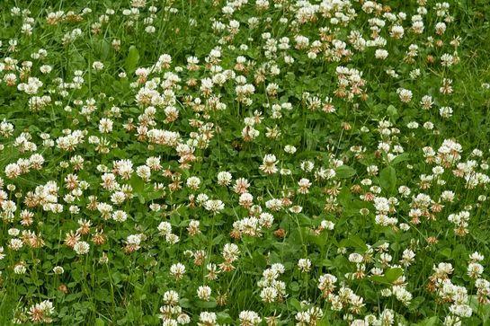 Альтернативный газон из белого клевера